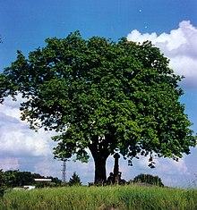 Eslbeere-Baum